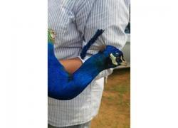 Blue Peafowls an Peachicks