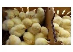 Day old Ross 308 Broilers