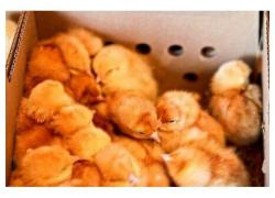 Broilers for sale