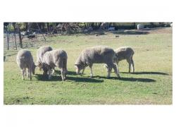 Sheep and lamb for sale