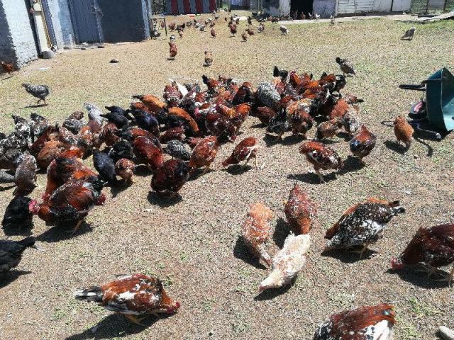 Boschveld Free Range Chicken