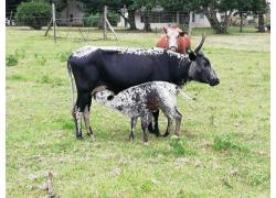 Cow and Calves for sale