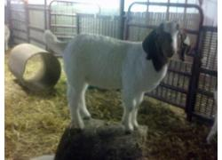Healthy Boer goat available