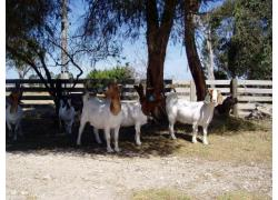 Health Boer goats and sheeps