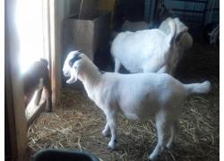 Health Boer goats and sheeps