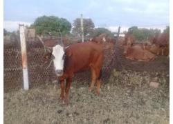 Heifer  for sale
