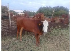 Heifer  for sale