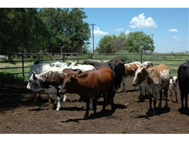 NGUNI CATTLES FOR SALE