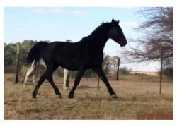 HORSES QH BLACK MARE