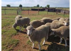 .Dorper and Merino Sheep