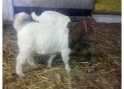 Boer Goat online