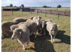 Cheap Merino sheep