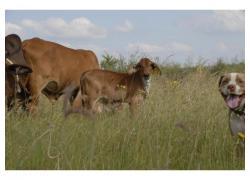 Healthy Brahman Calves online