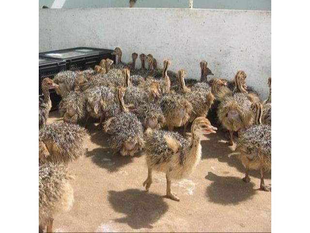 Best price Ostrich Chicks