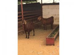 Healthy Kalahari red goats