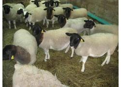 Best offer Dorper Sheep
