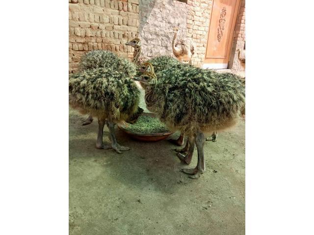 Ostrich Chicks farmers