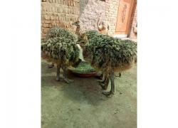 Ostrich Chicks farmers