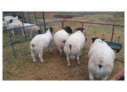 Dorper sheep best price