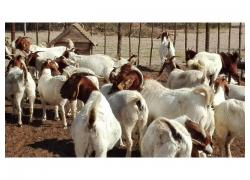 Boer Goat best offer