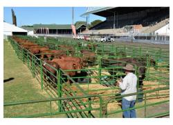 Calves and cattle available