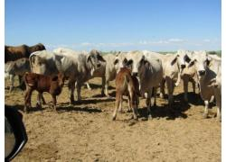 Bonsmara Heifers and bulls