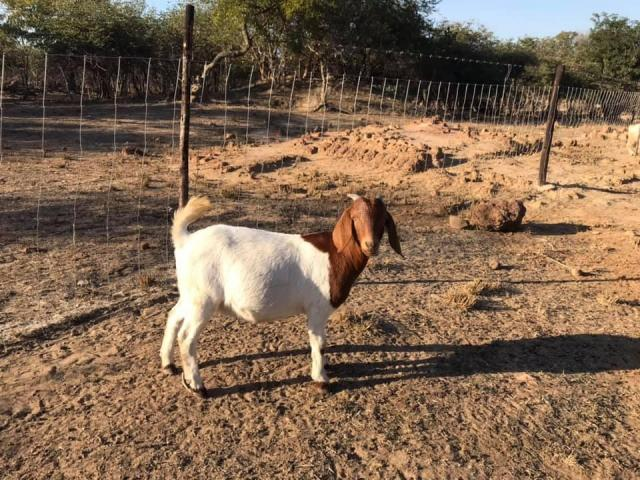 Healthy Boer goats sales