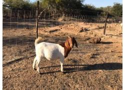 Healthy Boer goats sales