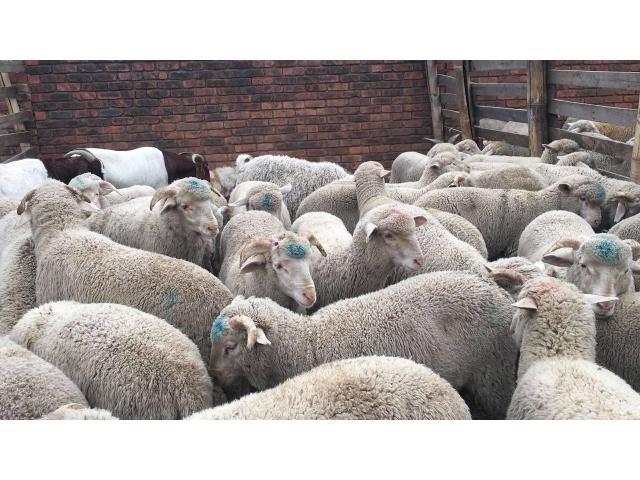 Healthy Merino sheep farmer