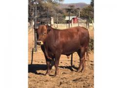 Cheap Bonsmara Heifers
